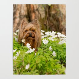 Summer Vibes - Small Yorkie Dog In Spring Forest #decor #society6 #buyart Poster