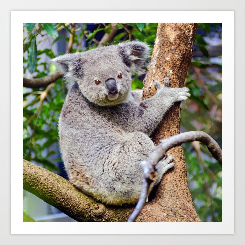 Australian Koala Bear Photo Art Print By Momsboxershorts Society6