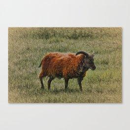 Soay Sheep Canvas Print