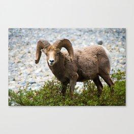 Ram Stare Down Canvas Print