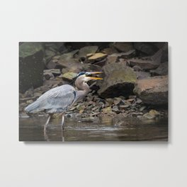 A Great Blue Heron Tosses A Fish In Its Mouth Metal Print