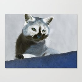 Blue Snow Shoe Cat on the Prowl Canvas Print