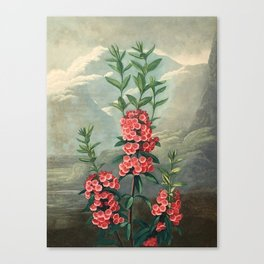 Pink Floral The Narrow-leaved Kalmia : Temple of Flora Canvas Print