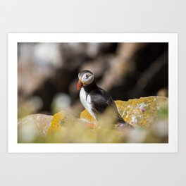 Puffin from Ireland (RR 284) Art Print