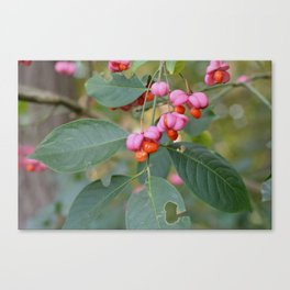 Spindle Tree (Euonymous europaeus) Canvas Print