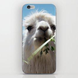 Llama eatin in Peru iPhone Skin
