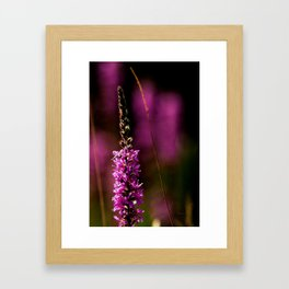 Purple flower of the loosestrife Framed Art Print