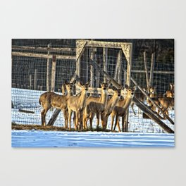 Whitetail Deer Stare Down Canvas Print
