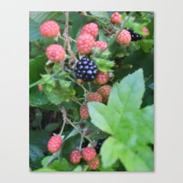 black berry bush Canvas Print