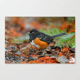 Profile of a Spotted Towhee Canvas Print