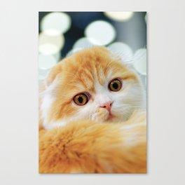 Young Scottish Fold cat Canvas Print